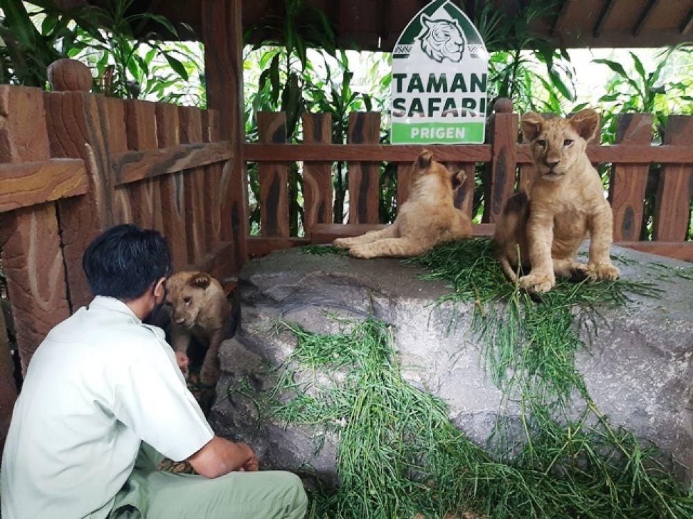 3 Bayi Singa Afrika Lahir di Taman Safari