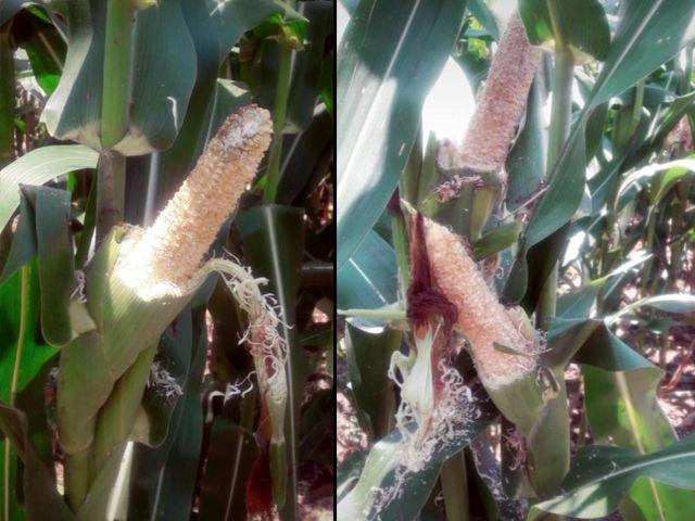 Dinas Pertanian Gresik Kehabisan Obat Hama