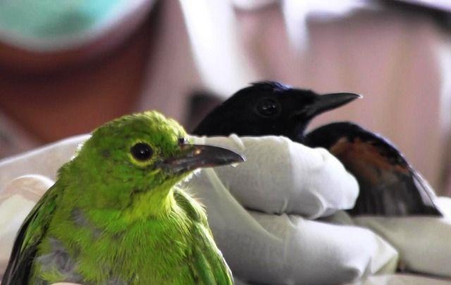 KM Satya Kencana Angkut Ratusan Burung  Ilegal