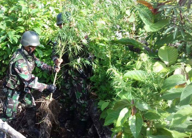 Satgas Pamtas Temukan Ladang Ganja di Perbatasan Papua