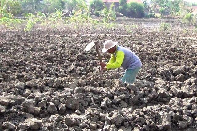 Ratusan Hektar Lahan Petani di Surabaya Kekeringan