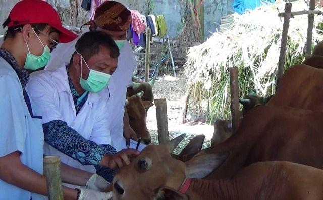 Pemeriksaan Hewan Kurban Temukan Sapi Cacingan