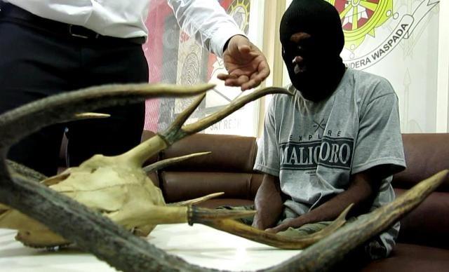 Bawa Hiasan Tanduk Rusa, Warga Papua Ditangkap